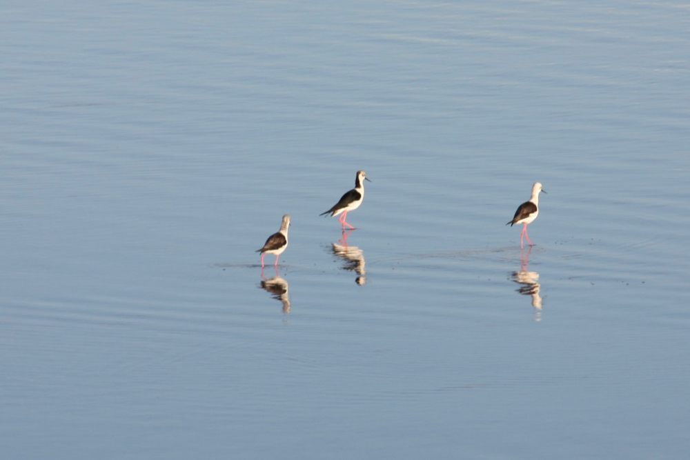 Black-Winged Stilt birds - birdwatching cagliari