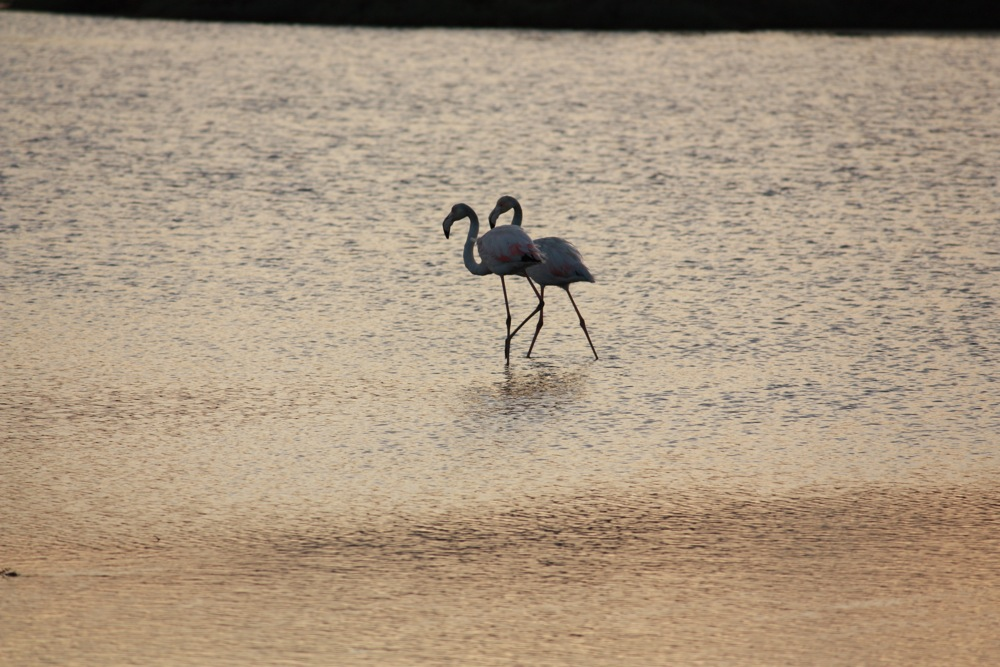 Pink Flamingos - birdwatching cagliari