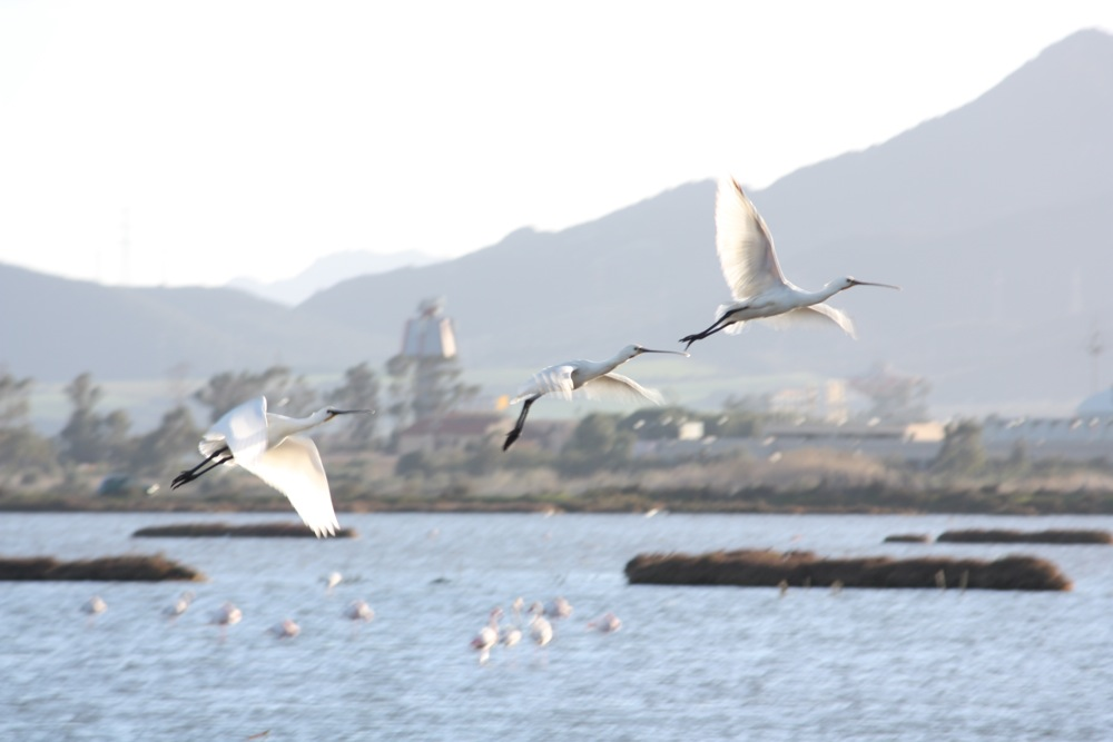 Little Egrets - birdwatching cagliari