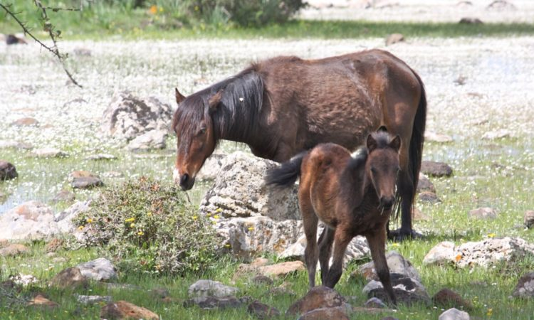 Sardinia wild Horses in the Giara of Gesturi Park