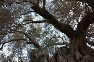 Breath-taking olive trees in South Sardinia