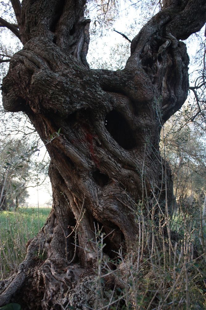 Aged old olive tree trunk in Sardinia