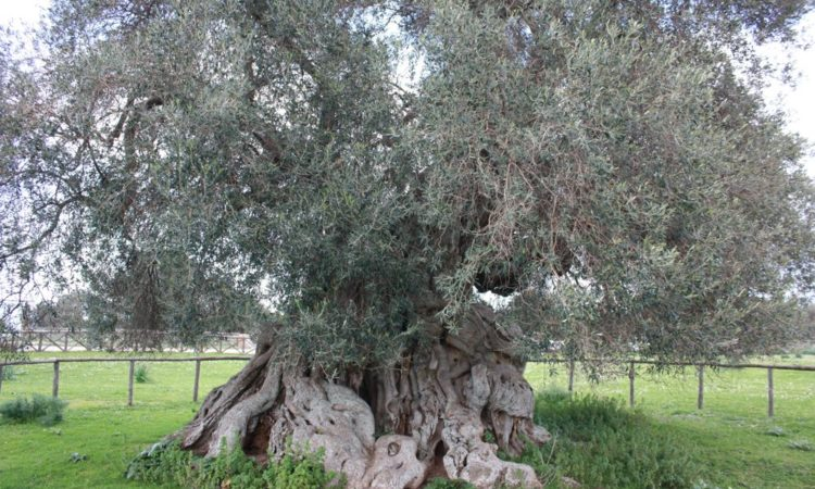 Sardinia Centuries Old Olive Trees